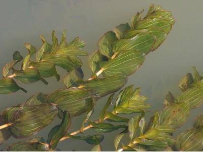 De zuurstofplant Doorgroeid fonteinkruid in bossen