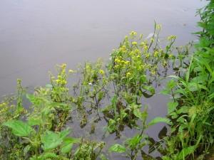 De oeverplant Gele waterkers  in mand