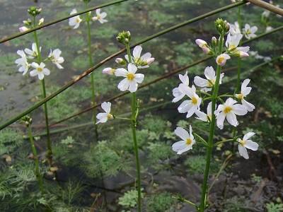 De zuurstofplant en oeverplant Waterviolier in bossen