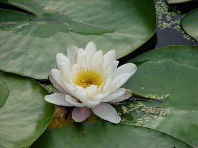 De drijfplant Waterlelie in mand